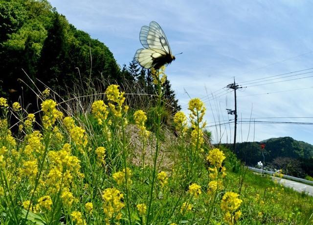 1.200514神鍋Bウスバアゲハ4447smS.jpg