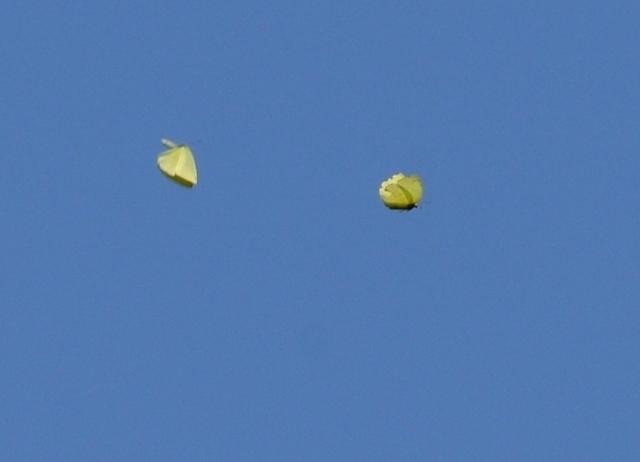 7.200429大江山キタキチョウ4433mS.JPG