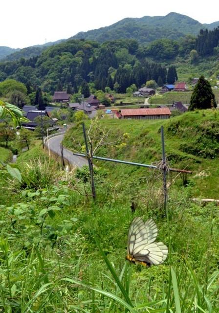 8.200518上世屋Bウスバアゲハ4679sbmS.jpg