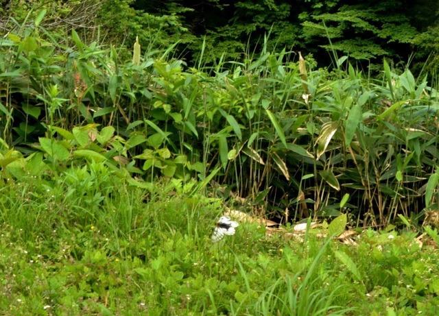 8.200522味土野Bウスバアゲハ4786smS.jpg